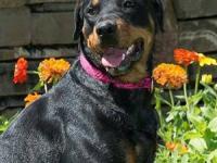 Husky - Sasha - Large - Adult - Female - Dog Very sweet