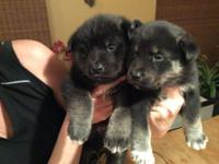 I have 3 female husky/ Shepard rescue pups. They have
