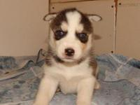 Husky Mix For Sale In Oregon Classifieds Buy And Sell In Oregon