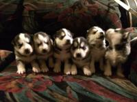 I got 5 Husky Siberian puppies up for sale. They are at