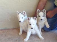 3husky Siberia puppies 7 weeks old first shot down any