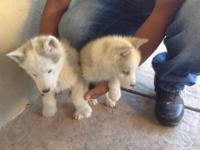 2 husky Siberian puppy's 8 weeks old blue eyes any