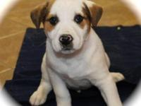Husky - Wiggles - Large - Baby - Male - Dog This litter