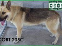 Husky - Wiley Coyote - Large - Adult - Male - Dog Wiley