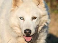 Husky - Yang - Medium - Senior - Male - Dog This