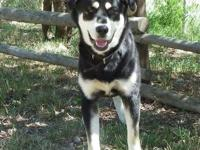 Husky - Fonzi - Large - Adult - Male - Dog
