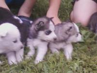 4 adorable HUSKY young puppies, 3 females (white woman