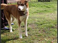 STRAY HOLD IN THE CITY POUND; 1804023 - Hussle - approx