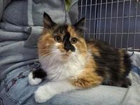 Hyacinth-Lap Cat's story This gorgeous calico is luxury