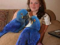 Pair of Hyacinth Macaw Parrots for sale. Very