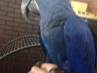 Selling a super tamed hyacinth macaw please call rick
