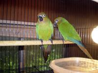 Now available are three hybrid conure babies, weaned