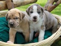 Adorable St. Dane puppies to become gentle giants! We