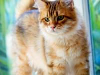 Description Koshka Siberian Cats is the first cattery