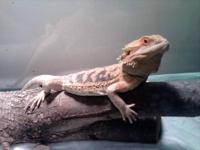Tazz is a 10mth old hypo male bearded dragon. He is