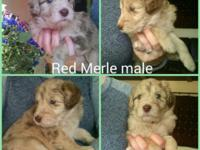 9 puppies born, 3 left! Border Collies are the #1 most