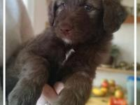 Only 1 of the stunning, Red/White Bordoodle puppies