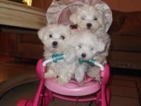 Hello i have 3 adorable purebred Maltese puppies toy