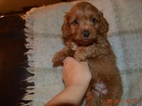PRICE REDUCED Tiny Teddy Bear Maltipoo Puppies