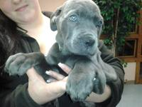 BLUE, SILVER, AND GREY ITALIAN CANE CORSO PUPPIES READY