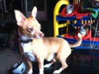 I got for sell a male apple Chiuahua dog,1 years old,it