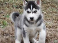 I have 2 pure breed male huskies. 9 weeks old. They