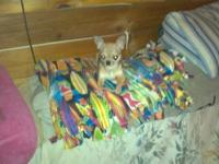 i have 3 puppies pure chihuahua will be no more then