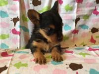 I HAVE 4 YORKIE-POO PUPPIES AVAILABLE. 3 FEMALE & & 1