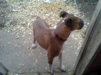 I have a 95 percent german full blooded boxer female