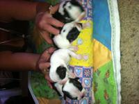 Hi There I Have 4 Females & 1 Male Boston Terriers