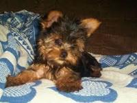Animal Type: Dogs Male and female teacup yorkie puppies