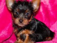 I have CKC registered yorkie puppies .Born