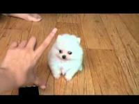I have two pomeranian male and female, very