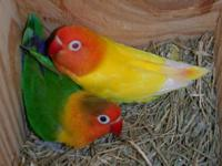 i looking to buy pair fisher love birds let me know