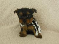 ADORABLE LITTLE MALE YORKIE. SOON TO BE READY TO GO TO