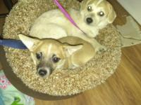 I sale 2 Chihuahua ,$ 350 EACH ,1 female dog Whitehead