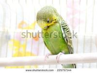 I still have 1 young female green parakeet to trade for