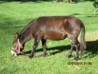 I have a mini mule and would like a donkey trained to