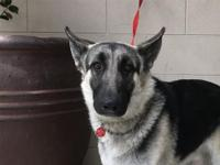 Type DOG  Breed German Shepherd /  Age (approximate): 2