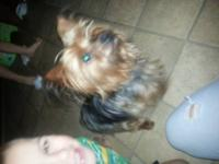 I have a male yorkie he's got his ckc papers. Very