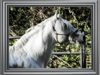 El Paso MF is a 16 hand IALHA Registered Andalusian