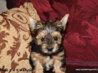 Royal Darling Yorkies offers this sweet and adorable