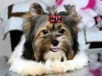 Gorgeous Biewer Yorkie Puppy Super Thick coat with