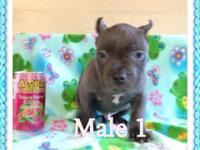 IBKC Pure Bred Blue American Bully Puppies. 8weeks old.