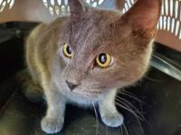 My story Ibrahim is a male, 10 lb, blue Domestic Short