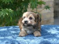 We have ICA registered Morkie puppies available. 2