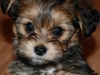 Animal Type: Dogs Breed: Sharkie ShihTzu Yorkie ICA