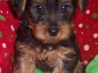 Adorable Puppies ICA Registered.Born 5-8 2013. Ready