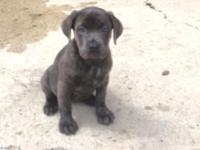 I have one blue brindle ICCF ACA Cane Corso female. She