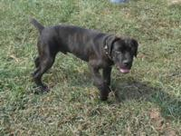 5 Month old Cane Corso Puppies. Grand Champion &